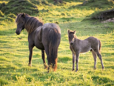 A mature horse and a foal beside it grazing during the hours of the midnight sun.