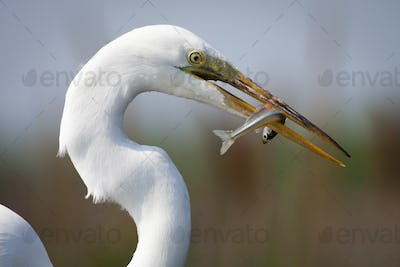 Close up of a Great Egret with a fish in his beak.