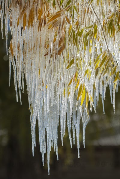Icicles hanging down from the branches of willow trees.