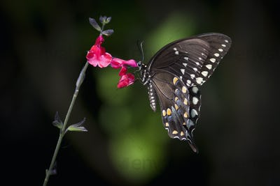 Close up of a Swallowtail butterfly sitting on a pink flower.