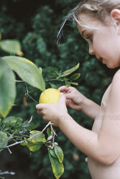 A young child picking a lemon from a tree.