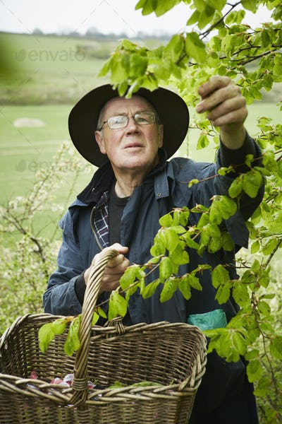 A forager with a basket reaching up to pick leaves from a tree.