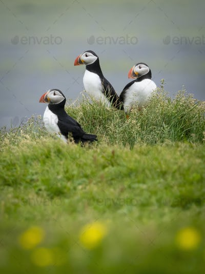 Three puffin birds in the grass on the cliffs of Dyrholaey.