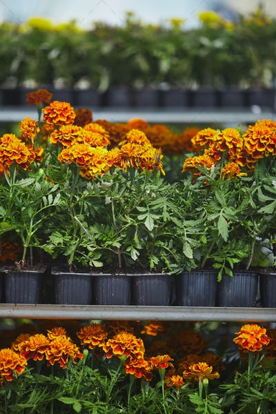 Marigold Plantation