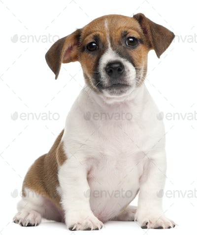 Jack Russell Terrier puppy, 2 months old, sitting in front of white background