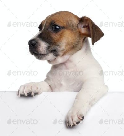 Jack Russell Terrier puppy, 2 months old, getting out of a box in front of white background