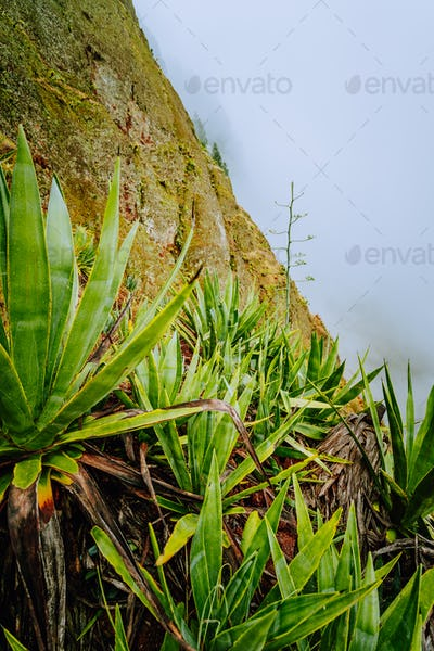 Santo Antao island at Cabo Verde. Agave plants on volcano terrain with mountain ridges above the