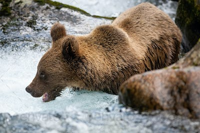 Majestic brown bear standing in river during summer