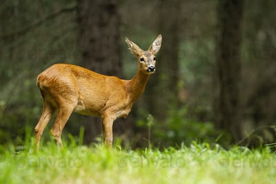 Young roe deer female standing in the summer forest