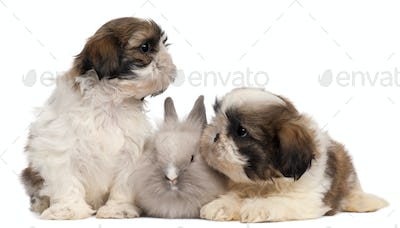 Two Shih-tzus playing with rabbit in front of white background