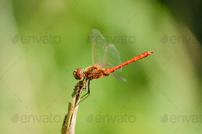 Close up of dragonfly.,Vagrant darter.