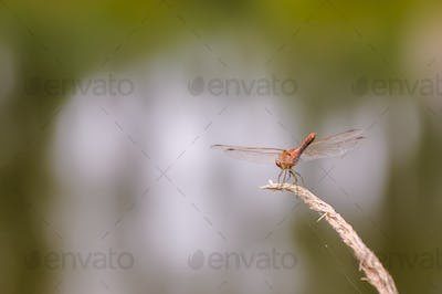 Close up of dragonfly, Vagrant darter.