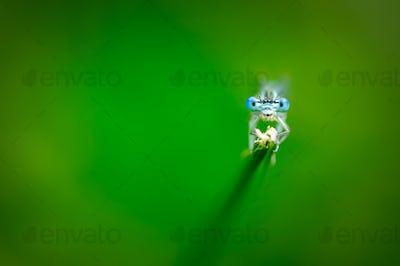 Beautiful cute dragonfly, White legged Damselfly