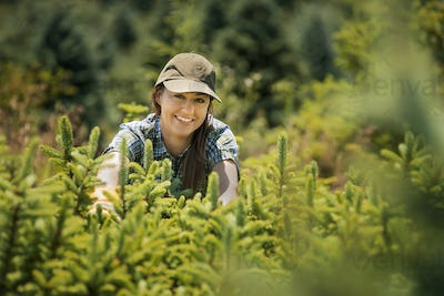 A woman clipping and pruning young conifer or pine trees in a plant nursery.