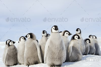 A nursery group of Emperor penguin chicks, huddled together, looking around.  A breeding colony.