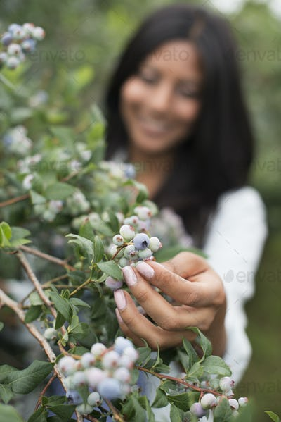 Organic fruit orchard. A woman picked fresh blueberries, Cyanococcus.