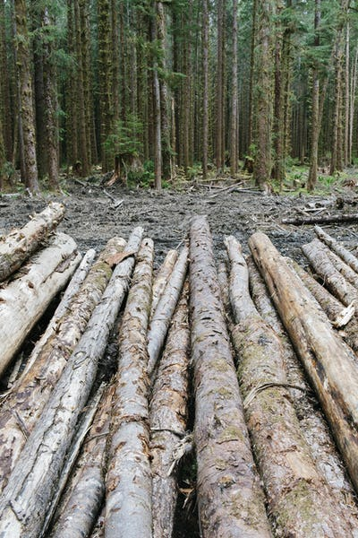 Recently cut logs of Sitka Spruce, Hoh Rainforest.