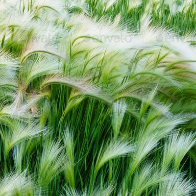 Green grasses blowing in the wind, in Glacier national park.