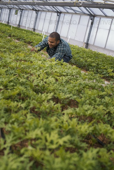 A man working in a large greenhouse, or glasshouse full of organic plants.