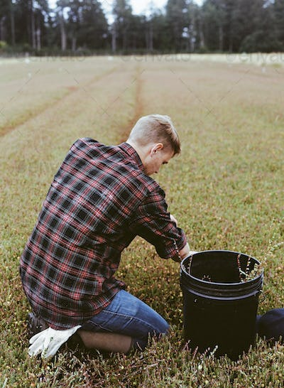 A young man harvesting the crop on a cranberry farm in Massachusetts.