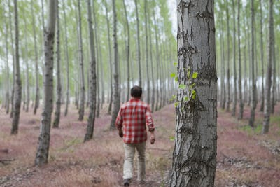 A man in a forest of poplar trees, Oregon, USA.