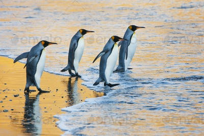 Four adult King penguins at the water's edge walking into the water, at sunrise.