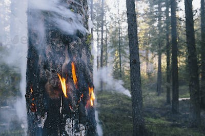 A controlled forest burn, to create the right condition for regrowth.