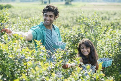 A young girl and a man standing surrounded by blueberry plants, harvesting the berries.