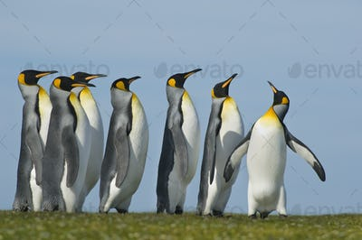 King penguins gathered in a group looking up in a courting display, Falkland Islands