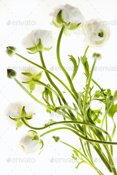 Delicate flowers with long thin stalks on a white background.