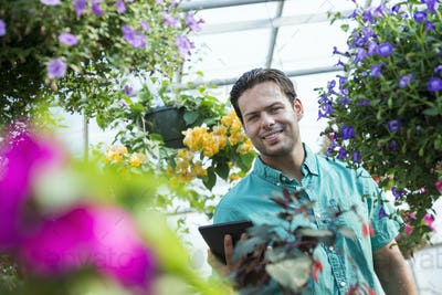 Man working, using a digital tablet in a commercial greenhouse in a plant nursery.