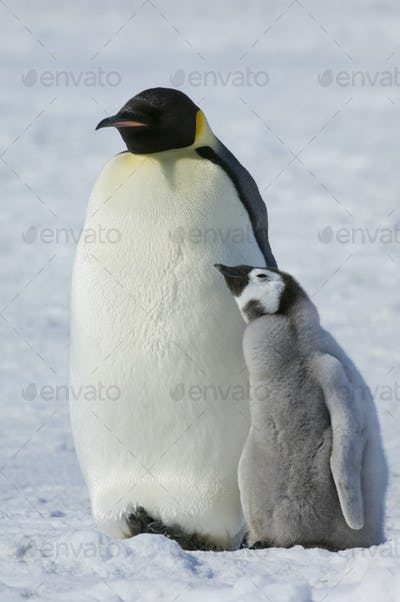 Two Emperor penguins, an adult bird and a chick, side by side, on the ice.