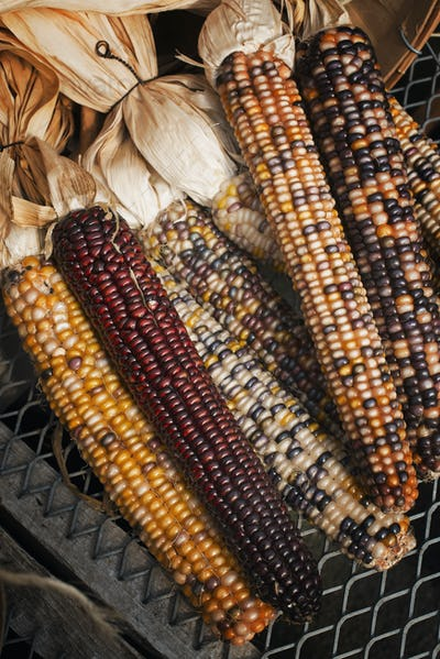 A variety of Indian corn cobs, with different natural colours and patterns. Maize.