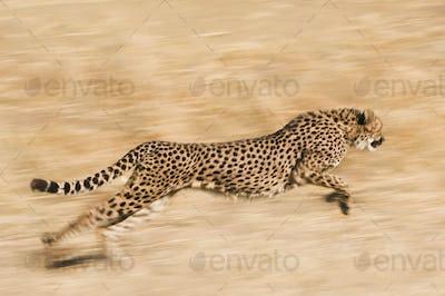 Cheetah running across the plain, Namibia