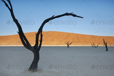 Dead camelthorn trees in the Dead Vlei at Sossusvlei  in Namib-Naukluft National Park, Namibia