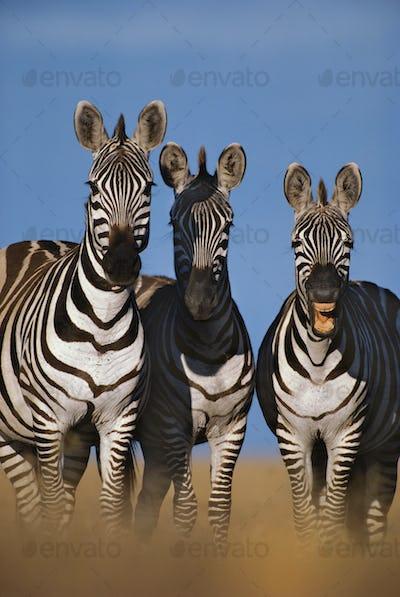 Zebras braying, Equus quagga, Masai Mara Reserve, Kenya