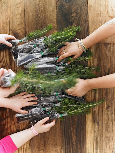 Rows of small evergreen seedlings laid on a tabletop. Three children sorting them out.