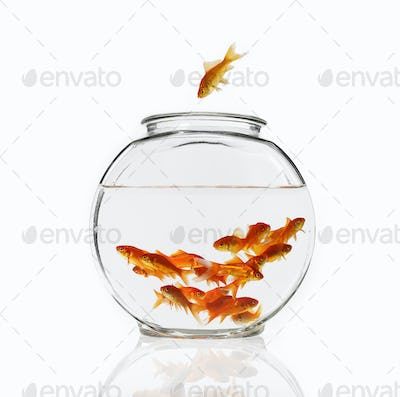 A goldfish in mid air diving into a glass bowl to join a group of fish in the water.