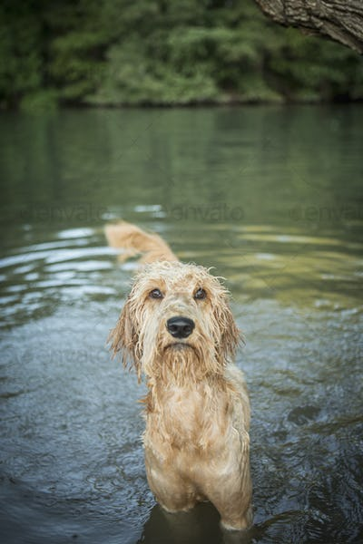 A golden labradoodle standing in the water looking up expectantly.