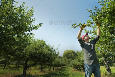 A man picking apples in an orchard.