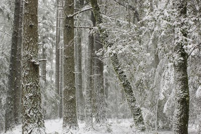 Winter snow, with hoar frost covering the trees in Castle Rock State Park, California, USA.