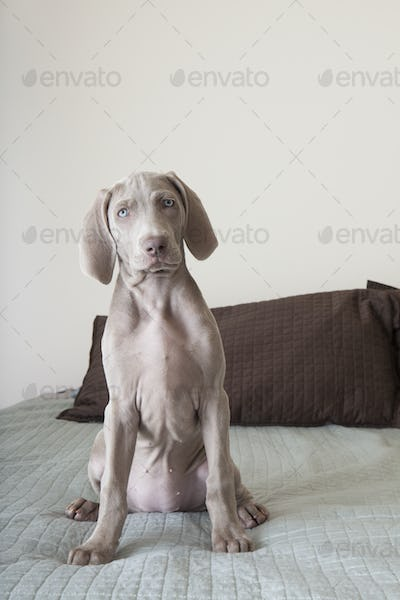 A Weimaraner puppy sitting up on a bed.