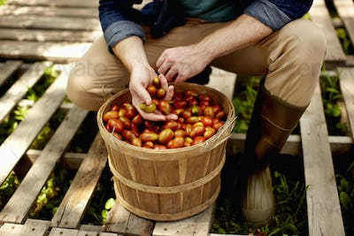 A man kneeling and sorting fresh picked vegetables, plum tomatoes.