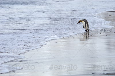A king penguin on an ice floe on the sea, South Georgia Island.