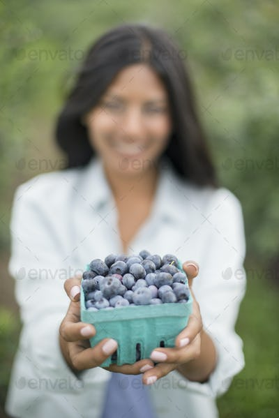 Organic Farming. A woman holding a punnet of fresh picked organic blueberries, Cyanococcus.