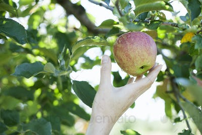 A woman's hand reaching for a fresh apple for picking, in the orchard at an organic fruit farm.