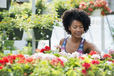 A woman working amongst flowering plants. Red and white geraniums on a workbench.