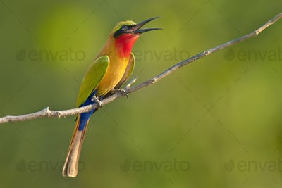 Red-throated bee-eater perched on branch, Murops belocki, Mole National Park, Ghana