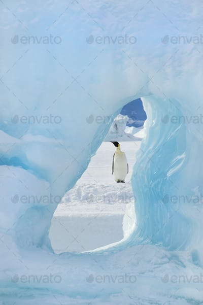 An adult Emperor penguin standing on the ice on Snow Hill island. Seen through an ice arch.