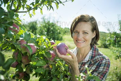 A woman in a plaid shirt picking apples from a branch in the orchard at a farm.